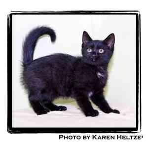 Domestic Shorthair Kitten for adoption in Warren, Pennsylvania - Hansel