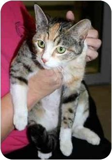 Calico Cat for adoption in Los Angeles, California - SNOOKI
