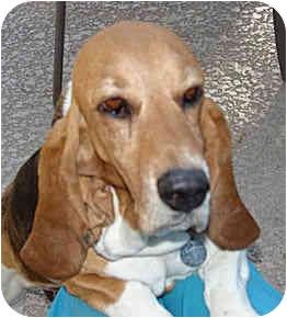 Basset Hound Dog for adoption in Phoenix, Arizona - Shylee