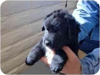 Australian Shepherd/Australian Cattle Dog Mix Puppy for adoption in Broomfield, Colorado - Doris Day