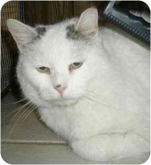 Colorpoint Shorthair Cat for adoption in Medford, Massachusetts - Schnapps