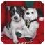 Photo 3 - Miniature Pinscher/Schnauzer (Miniature) Mix Puppy for adoption in McArthur, Ohio - Nick and Noel