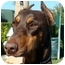 Photo 1 - Doberman Pinscher Dog for adoption in Las Vegas, Nevada - Lucy