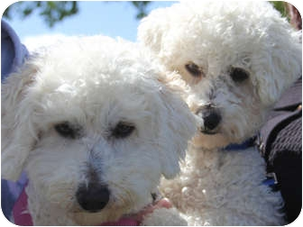 Bichon Frise Dog for adoption in La Costa, California - Bogey and Bacall