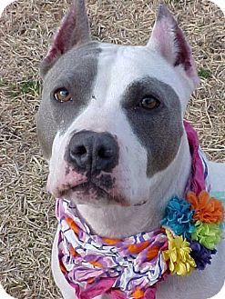 American Staffordshire Terrier Mix Dog for adoption in Huntington, New York - Mary