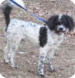 Poodle (Miniature)/Spaniel (Unknown Type) Mix Dog for adoption in Bloomfield, Connecticut - Irving