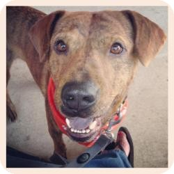 Plott Hound/Labrador Retriever Mix Dog for adoption in Philadelphia, Pennsylvania - Carson