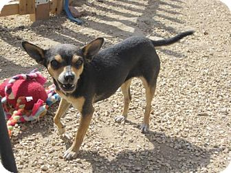 Chihuahua Mix Dog for adoption in Toluca Lake, California - Turtle