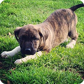 Labrador Retriever/Pit Bull Terrier Mix Puppy for adoption in Cranford, New Jersey - T