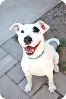 Pit Bull Terrier Mix Dog for adoption in South Orange, New Jersey - Prince
