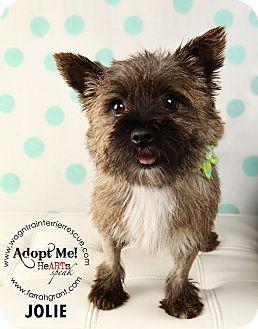Norwich Terrier Dog for adoption in Omaha, Nebraska - Jolie