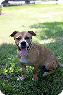 Basset Hound Mix Dog for adoption in Wilmington, North Carolina - Basset Sweety