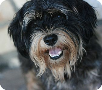 Yorkie, Yorkshire Terrier/Schnauzer (Miniature) Mix Dog for adoption in Canoga Park, California - BJ