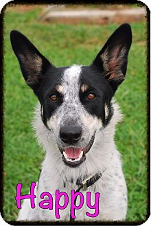 Blue Heeler Mix Dog for adoption in Elyria, Ohio - Happy