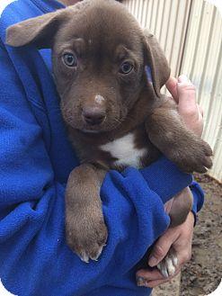 Labrador Retriever Mix Puppy for adoption in Kaufman, Texas - Dom