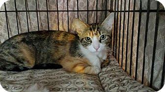 Calico Cat for adoption in Laguna Woods, California - Paisley