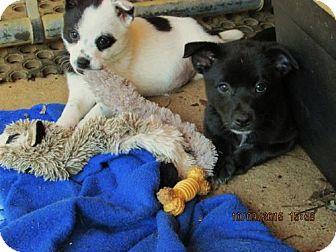 Australian Shepherd/Feist Mix Puppy for adoption in Lincolndale, New York - Braxton
