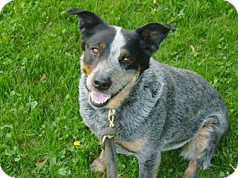 Blue Heeler Mix Dog for adoption in Bluemont, Virginia - MOMMA