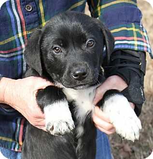Labrador Retriever/English Springer Spaniel Mix Puppy for adoption in Westport, Connecticut - *Parker - PENDING