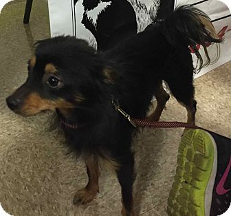 Chihuahua Mix Dog for adoption in Loudonville, New York - Foxy #3