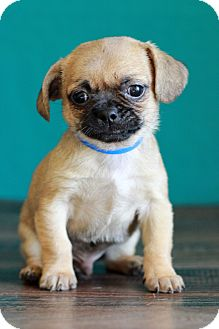 Pug/Boston Terrier Mix Puppy for adoption in Waldorf, Maryland - Moe