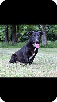 Basset Hound/Labrador Retriever Mix Dog for adoption in Kittery, Maine - Toby