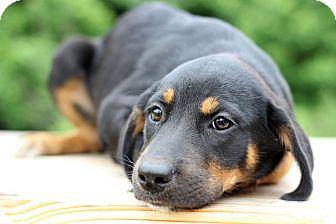 Rottweiler Mix Puppy for adoption in Waldorf, Maryland - Gigi