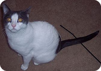 Domestic Shorthair Cat for adoption in brewerton, New York - Elie