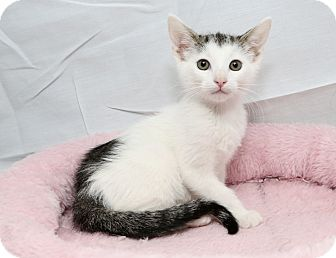 Domestic Shorthair Kitten for adoption in Yorba Linda, California - Eeyore