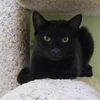 Domestic Shorthair Cat for adoption in Ocala, Florida - KALIAH