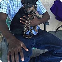 Miniature Pinscher Dog for adoption in Las Vegas, Nevada - Arif