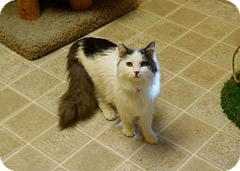 Domestic Longhair Cat for adoption in Salem, West Virginia - Timmy