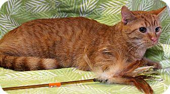Domestic Shorthair Cat for adoption in Greensboro, North Carolina - Godfrey