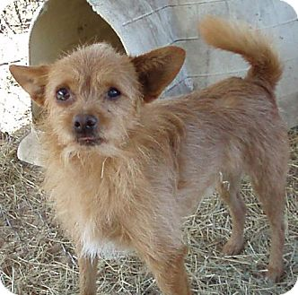 Norfolk Terrier/Chihuahua Mix Dog for adoption in Melrose, Florida - Red
