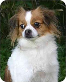 Japanese Chin/Pomeranian Mix Dog for adoption in Ladysmith, Wisconsin - Candy