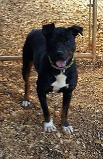 Labrador Retriever/Rottweiler Mix Dog for adoption in Gainesville, Georgia - Buddy