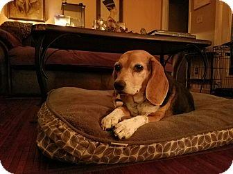 Beagle Mix Dog for adoption in Smithfield, North Carolina - Sadie