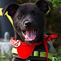 Labrador Retriever/Terrier (Unknown Type, Medium) Mix Dog for adoption in San Ramon, California - Parker