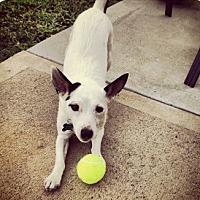 Adopt A Pet :: Solomon in Houston - Austin, TX