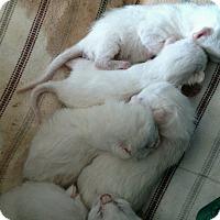 Adopt A Pet :: Six White Kittens - Ypsilanti, MI