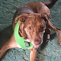 Catahoula Leopard Dog/Labrador Retriever Mix Dog for adoption in Lombard, Illinois - Jupiter
