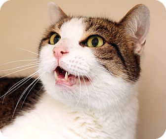 Domestic Shorthair Cat for adoption in Royal Oak, Michigan - ZLATAN