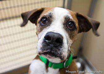 Boxer Mix Dog for adoption in Naperville, Illinois - Bella