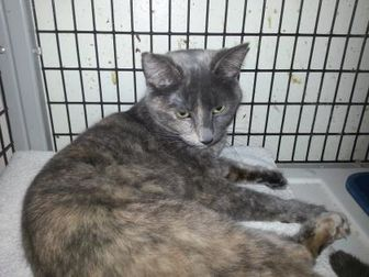 Domestic Shorthair/Domestic Shorthair Mix Cat for adoption in Tucson, Arizona - Sage