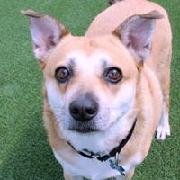 Adopt A Pet :: Bella - Loxahatchee, FL