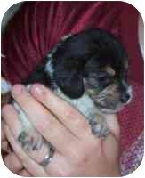 Beagle/Poodle (Miniature) Mix Puppy for adoption in Blacksburg, Virginia - Tulip
