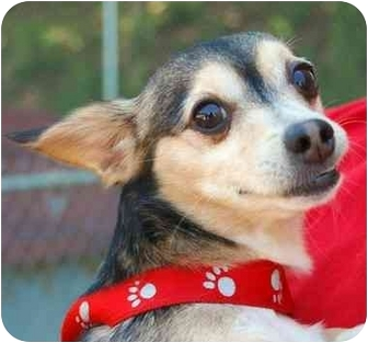 Chihuahua Dog for adoption in Inman, South Carolina - Raleigh