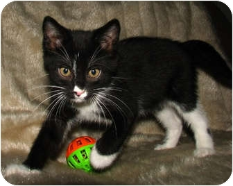 Domestic Shorthair Kitten for adoption in Norwich, New York - Willie