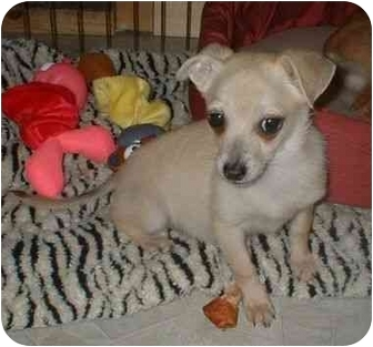 Chihuahua/Terrier (Unknown Type, Small) Mix Puppy for adoption in Manahawkin, New Jersey - Shea*Pending