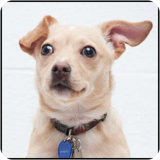 Chihuahua Mix Puppy for adoption in Westfield, New York - Buttons